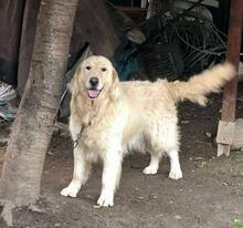 MOSHU, Hund, Golden Retriever in Rumänien - Bild 2
