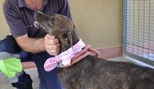 KISS, Hund, Whippet-Mix in Spanien - Bild 4