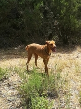 TITI, Hund, Golden Retriever-Mix in Spanien - Bild 4