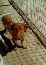 LEO, Hund, Podenco-Dackel-Mix in Spanien - Bild 2