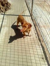 LEO, Hund, Podenco-Dackel-Mix in Spanien - Bild 3