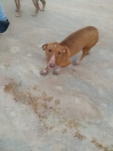 LEO, Hund, Podenco-Dackel-Mix in Spanien - Bild 4