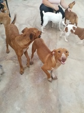 LEO, Hund, Podenco-Dackel-Mix in Spanien - Bild 8