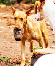 MAXI, Hund, Podenco Andaluz-Mix in Wesseling - Bild 11