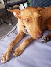 MAXI, Hund, Podenco Andaluz-Mix in Wesseling - Bild 2