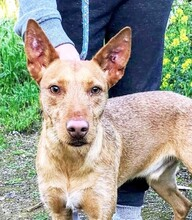 MAXI, Hund, Podenco Andaluz-Mix in Wesseling - Bild 3