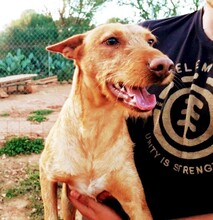 MAXI, Hund, Podenco Andaluz-Mix in Wesseling - Bild 5