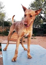 MAXI, Hund, Podenco Andaluz-Mix in Wesseling - Bild 6