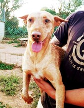MAXI, Hund, Podenco Andaluz-Mix in Wesseling - Bild 7