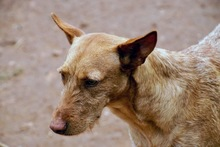 MAXI, Hund, Podenco Andaluz-Mix in Wesseling - Bild 9