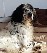 TESSA, Hund, English Setter in Feuchtwangen - Bild 1