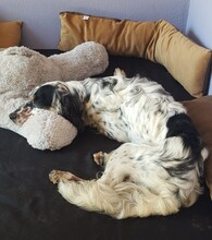 TESSA, Hund, English Setter in Feuchtwangen - Bild 2