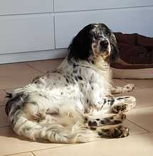 TESSA, Hund, English Setter in Feuchtwangen - Bild 3