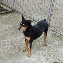 FATIMAII, Hund, Pinscher in Hünfelden - Bild 4