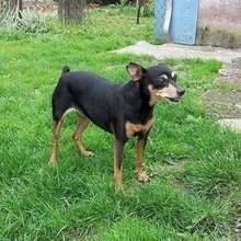 FATIMAII, Hund, Pinscher in Hünfelden - Bild 7