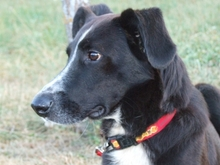 BYRON, Hund, Border Collie in Spanien - Bild 7