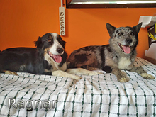 RAGNAR, Hund, Border Collie-Mix in Spanien - Bild 3