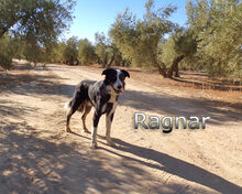 RAGNAR, Hund, Border Collie-Mix in Spanien - Bild 5