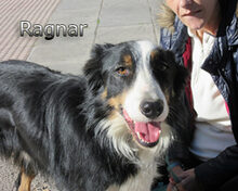RAGNAR, Hund, Border Collie-Mix in Spanien - Bild 6
