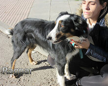 RAGNAR, Hund, Border Collie-Mix in Spanien - Bild 8
