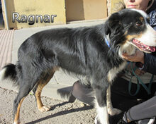 RAGNAR, Hund, Border Collie-Mix in Spanien - Bild 9
