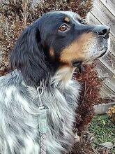 RONALDO, Hund, English Setter in Italien - Bild 4