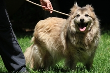 PIO, Hund, Volpino Italiano-Mix in Italien - Bild 2