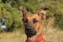 MONTY, Hund, Malinois-Mix in Berlin