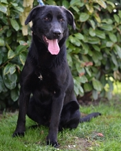 BUCK, Hund, Labrador Retriever in Kroatien - Bild 1
