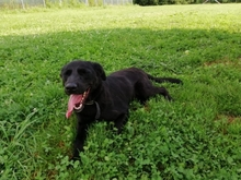 BUCK, Hund, Labrador Retriever in Kroatien - Bild 2