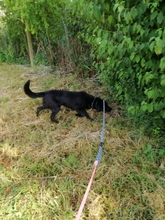 BUCK, Hund, Labrador Retriever in Kroatien - Bild 7