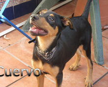 CUERVO, Hund, Pinscher-Mix in Spanien - Bild 1