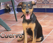 CUERVO, Hund, Pinscher-Mix in Spanien - Bild 2