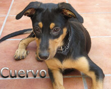 CUERVO, Hund, Pinscher-Mix in Spanien - Bild 3
