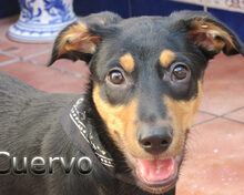 CUERVO, Hund, Pinscher-Mix in Spanien - Bild 5