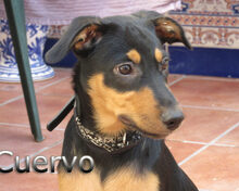 CUERVO, Hund, Pinscher-Mix in Spanien - Bild 6