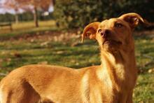 ROCKY, Hund, Podenco-Mix in Spanien - Bild 2