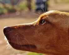 ROCKY, Hund, Podenco-Mix in Spanien - Bild 4