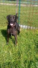 BRUNO, Hund, Labrador-Mix in Slowakische Republik - Bild 2