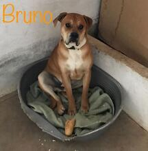BRUNO, Hund, Boxer-Mix in Spanien - Bild 4