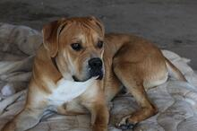 BRUNO, Hund, Boxer-Mix in Spanien - Bild 5