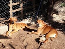 BRUNO, Hund, Boxer-Mix in Spanien - Bild 7