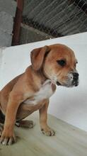 BRUNO, Hund, Boxer-Mix in Spanien - Bild 8