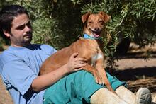 ORION, Hund, Podenco-Mix in Spanien - Bild 5