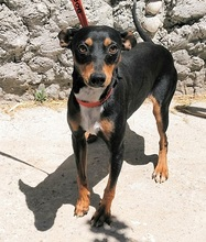 CHOPIN, Hund, Pinscher-Mix in Spanien - Bild 1