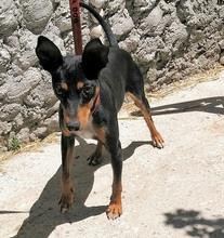 CHOPIN, Hund, Pinscher-Mix in Spanien - Bild 2