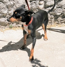CHOPIN, Hund, Pinscher-Mix in Spanien - Bild 3