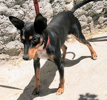CHOPIN, Hund, Pinscher-Mix in Spanien - Bild 4