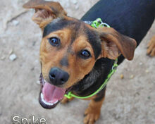 SPIKE, Hund, Pinscher-Dackel-Mix in Spanien - Bild 1