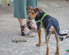 SPIKE, Hund, Pinscher-Dackel-Mix in Spanien - Bild 3